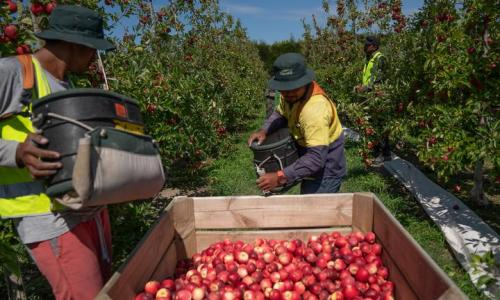 Govt to allow 2000 horticulture workers in from Pacific under strict conditions article image